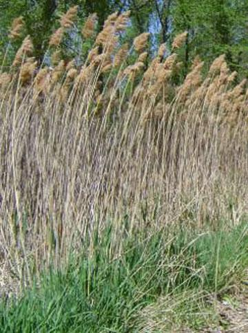Click to view larger image of Phragmites